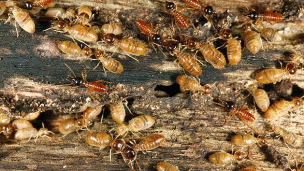 termites bois
