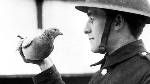 Le pigeon voyageur « cher ami »